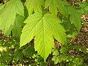 Acer pseudoplatanus 002
