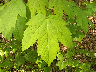 Maple - Acer pseudoplatanus (sycamore maple) foliage