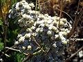 Achillea odorata FlowersCloseup SierraNevada.jpg