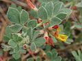 Acmispon nevadensis.jpg