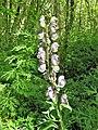 Aconitum napellus subsp. lusitanicum. Aconitu.jpg
