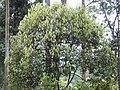 Actinodaphne malabarica Varattuparai DSCN3034.JPG