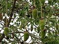 Adansonia grandidieri fruit.JPG