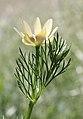 Adonis aestivalis leaf (02).jpg