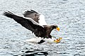 Adult Steller's sea eagle fishing.jpg