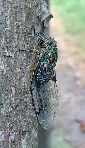 Amphipsalta zelandica - Adult chorus cicada.