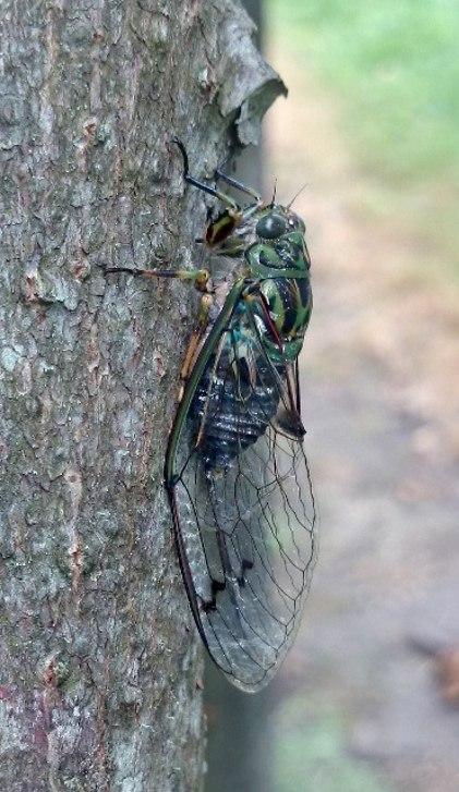 Adult chorus cicada (Amphisalta zealandica)