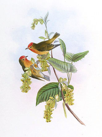 """Fire-capped tit - Illustration of Cephalopyrus flammiceps, take from """"The Birds of Asia"""", by John Gould"""