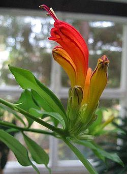 definition of aeschynanthus