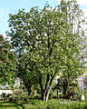 Aesculus hippocastanum. Lisbon.jpg