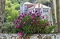 African Daisys. Sintra, Portugal.jpg