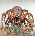 African cork-lid trapdoor spider (Stasimopus sp.) 2.jpg