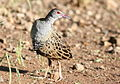 African crake, Crex egregia on the Zaagkuildrift Road near Kgomo Kgomo, Limpopo, South Africa (16308249035).jpg