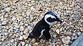 African penguins (28).jpg