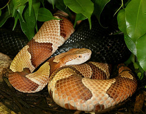 Osage Copperhead (Agkistrodon contortrix phaeo...