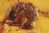 Agroecomyrmex duisburgi MBIGK225 01.jpg