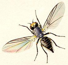 http://upload.wikimedia.org/wikipedia/commons/thumb/5/55/Agromzidaelowres.jpg/220px-Agromzidaelowres.jpg