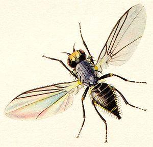 Agromyzidae - Image: Agromzidaelowres