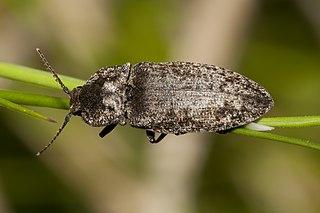 Kováčik sivý (lat. Agrypnus murinus)