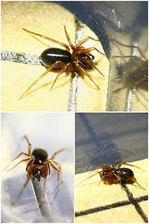 <i>Agyneta</i> Genus of spiders