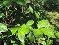 Alangium salviifolium leaves 01.JPG
