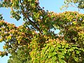 Albizia julibrissin — Альбиция ленкоранская - panoramio.jpg