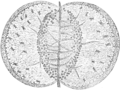 Aldrovanda vesiculosa leaf pressed flat open and greatly enlarged (Darwin 1896, fig 13 lower, p 323).png