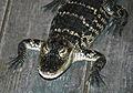 Alligator mississippiensis (American alligator) 2 (15725673711).jpg