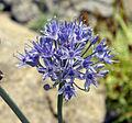Allium caeruleum 1.jpg