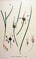 Allium carinatum — Flora Batava — Volume v20.jpg