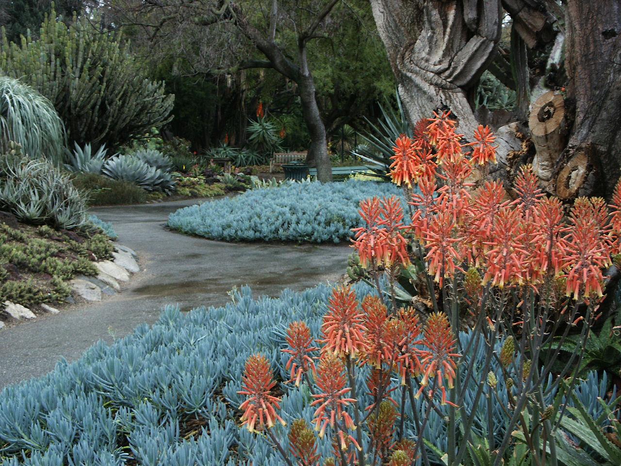 File:Aloe U0026 Blue Stick Succulents, Huntington Desert Garden