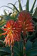Aloe arborescens IMGP0225.jpg