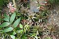 Aloe jucunda-Jardin des plantes de Nantes.jpg