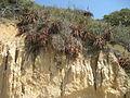 Aloe spicata - Catembe (Ton Rulkens).jpg