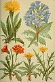 Alpen-Flora für Touristen und Pflanzenfreunde (1902) (18109434205).jpg