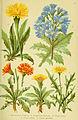 Alpen-Flora für Touristen und Pflanzenfreunde (Pl. 23) (6021505763).jpg