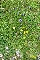 Alpine flora (Gru) (37167987574).jpg