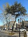 Alzina del passeig de Gràcia P1420901.JPG