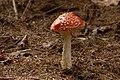 Amanita muscaria (29528997203).jpg