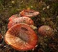Amanita muscaria (8071954110).jpg