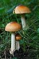 Amanita subnudipes (Romagn.) Tulloss 257724.jpg
