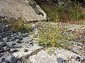 Amaranthus albus sl6.jpg