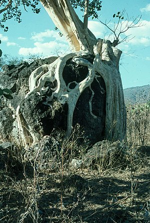 Amate - Amate tree growing in northern Guerrero, Mexico.