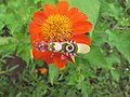 Amazing bug1-Spiny flower mantis (Pseudocreobotra wahlbergi).jpg