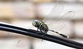 Amazing dragon fly.jpg