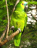 Amazona aestiva -in tree-8.jpg