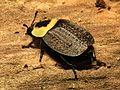 American Carrion Beetle - Flickr - treegrow (1).jpg