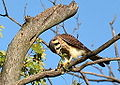 American Kestrel Juvenile (7878351226).jpg