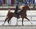 American Saddlebred.jpg