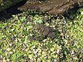 American Toad, Bufo americanus - Flickr - GregTheBusker.jpg